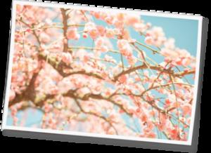 湯河原梅まつり「梅の宴」